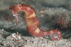 BD-110317-Puerto-Galera-3875-Hippocampus-kuda.-Bleeker.-1852-[Spotted-seahorse.-Gul-sjöhäst].jpg